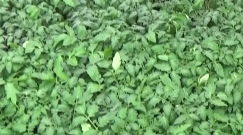 советы по выращиванию рассады помидоров