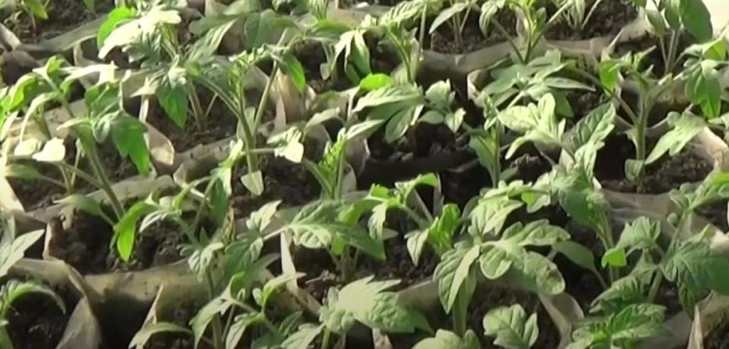 как удобрять рассаду