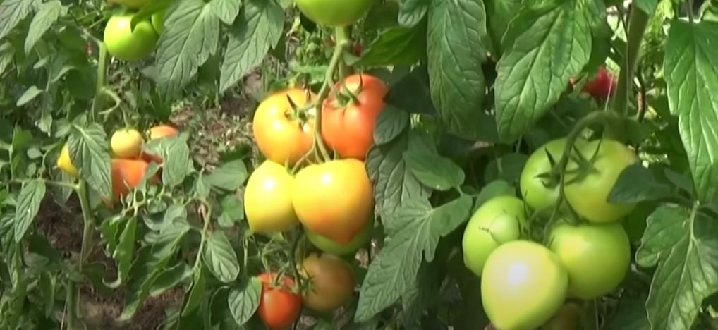 рассада помидоров дает хороший урожай при правильном уходе поливе рыхлении и удобрении