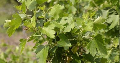 как вырастить черную смородину, уход посадка и подкормка удобрениями