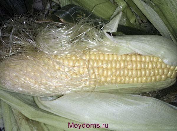 заболевания кукурузы как бороться